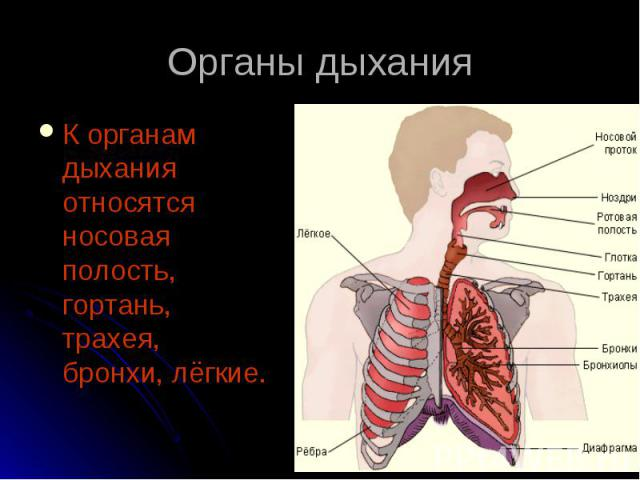 К органам дыхания относятся носовая полость, гортань, трахея, бронхи, лёгкие. К органам дыхания относятся носовая полость, гортань, трахея, бронхи, лёгкие.