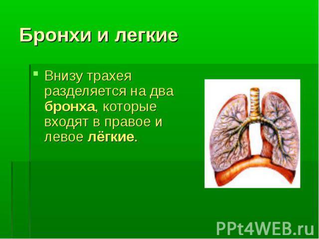 Внизу трахея разделяется на два бронха, которые входят в правое и левое лёгкие. Внизу трахея разделяется на два бронха, которые входят в правое и левое лёгкие.