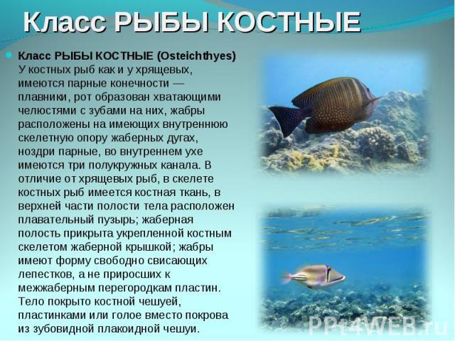 Класс РЫБЫ КОСТНЫЕ (Osteichthyes) У костных рыб как и у хрящевых, имеются парные конечности — плавники, рот образован хватающими челюстями с зубами на них, жабры расположены на имеющих внутреннюю скелетную опору жаберных дугах, ноздри парные, во вну…