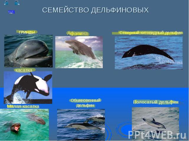 Северный китовидный дельфин Северный китовидный дельфин