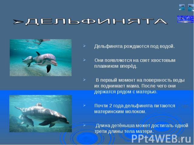 Дельфинята рождаются под водой. Дельфинята рождаются под водой. Они появляются на свет хвостовым плавником вперёд. В первый момент на поверхность воды их поднимает мама. После чего они держатся рядом с матерью. Почти 2 года дельфинята питаются матер…
