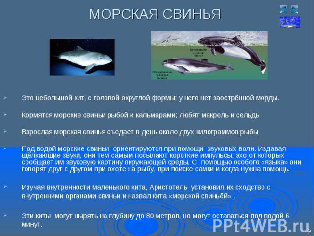 Это небольшой кит, с головой округлой формы; у него нет заострённой морды. Это небольшой кит, с головой округлой формы; у него нет заострённой морды. Кормятся морские свиньи рыбой и кальмарами; любят макрель и сельдь . Взрослая морская свинья съедае…
