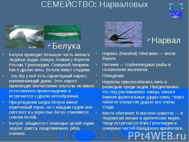 Белуха проводит большую часть жизни в ледяных водах севера, плавая у берегов России, Гренландии, Северной Америки. Как и другие киты, белухи живут стадами. Белуха проводит большую часть жизни в ледяных водах севера, плавая у берегов России, Гренланд…