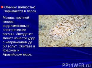 Обычно полностью зарывается в песок. Обычно полностью зарывается в песок.