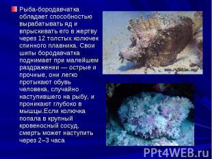 Рыба-бородавчатка обладает способностью вырабатывать яд и впрыскивать его в жерт