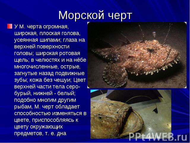 Морской черт У М. черта огромная, широкая, плоская голова, усеянная шипами; глаза на верхней поверхности головы; широкая ротовая щель; в челюстях и на нёбе многочисленные, острые, загнутые назад подвижные зубы; кожа без чешуи; Цвет верхней части тел…