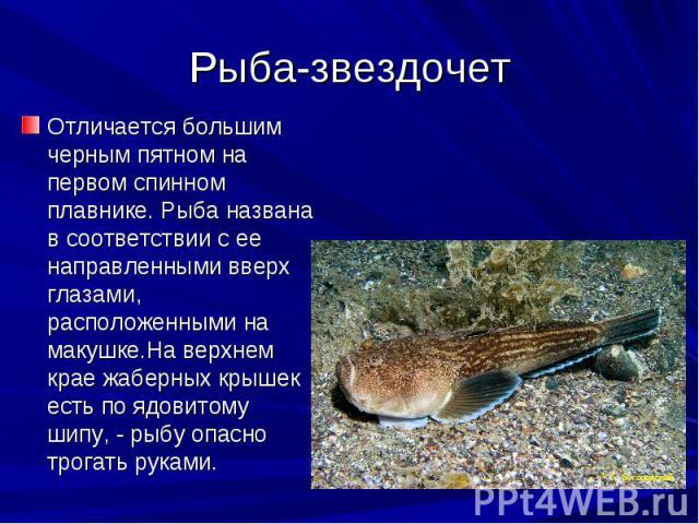 Рыба-звездочет Отличается большим черным пятном на первом спинном плавнике. Рыба названа в соответствии с ее направленными вверх глазами, расположенными на макушке.На верхнем крае жаберных крышек есть по ядовитому шипу, - рыбу опасно трогать руками.