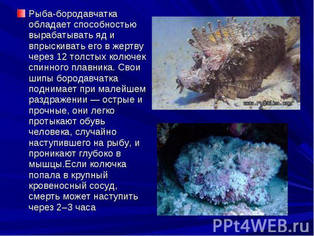 Рыба-бородавчатка обладает способностью вырабатывать яд и впрыскивать его в жертву через 12 толстых колючек спинного плавника. Свои шипы бородавчатка поднимает при малейшем раздражении — острые и прочные, они легко протыкают обувь человека, случайно…