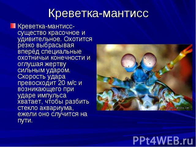 Креветка-мантисс Креветка-мантисс- существо красочное и удивительное. Охотится резко выбрасывая вперёд специальные охотничьи конечности и оглушая жертву сильным ударом. Скорость удара превосходит 20 м/с и возникающего при ударе импульса хватает, что…