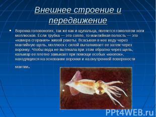 Воронка головоногих, так же как и щупальца, является гомологом ноги моллюсков. Е