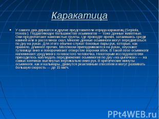 У самого дна держатся и другие представители отряда каракатиц (Sepiola, Rossia )