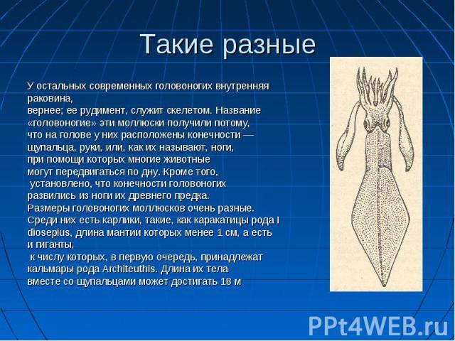 У остальных современных головоногих внутренняя У остальных современных головоногих внутренняя раковина, вернее; ее рудимент, служит скелетом. Название «головоногие» эти моллюски получили потому, что на голове у них расположены конечности — щупальца,…