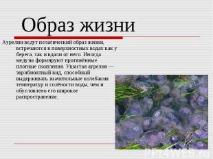 Аурелии ведут пелагический образ жизни, встречаются в поверхностных водах как у