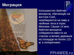 Большинство бабочек-монархов, обитающих на востоке США, перебираются на зиму в х