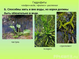 Гидрофиты «гидро»-вода, «фитос» -растение Б. Способны жить и вне воды, но корни