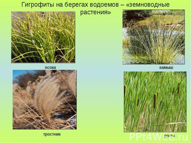 Гигрофиты на берегах водоемов – «земноводные растения»
