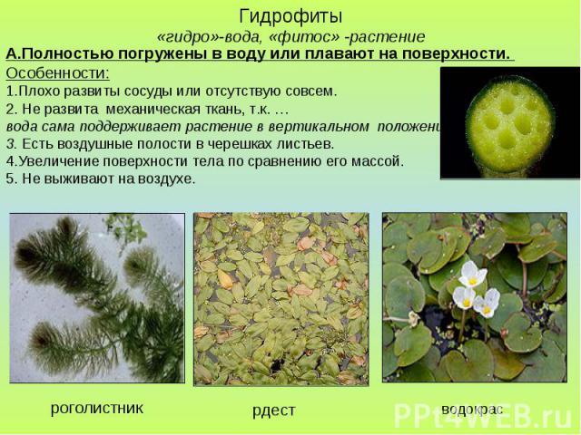 Гидрофиты «гидро»-вода, «фитос» -растение А.Полностью погружены в воду или плавают на поверхности. Особенности: 1.Плохо развиты сосуды или отсутствую совсем. 2. Не развита механическая ткань, т.к. … вода сама поддерживает растение в вертикальном пол…
