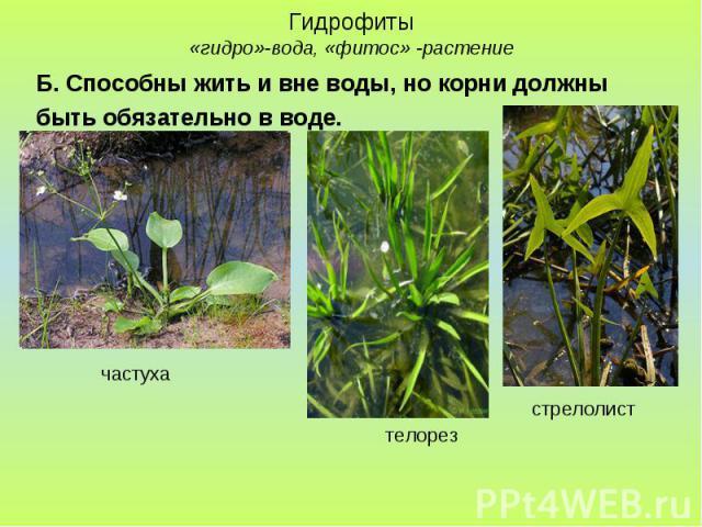 Гидрофиты «гидро»-вода, «фитос» -растение Б. Способны жить и вне воды, но корни должны быть обязательно в воде.