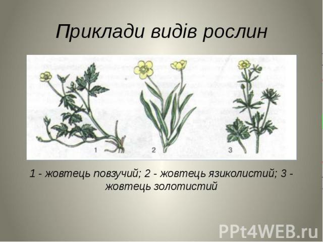 Приклади видів рослин 1 - жовтець повзучий; 2 - жовтець язиколистий; 3 - жовтець золотистий