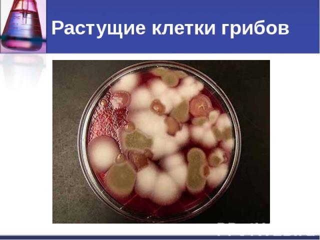 Растущие клетки грибов