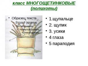 класс МНОГОЩЕТИНКОВЫЕ (полихоты) 1.щупальце 2. щупик 3. усики 4 глаза 5 параподи