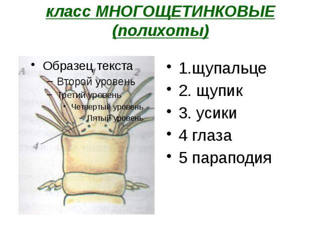 класс МНОГОЩЕТИНКОВЫЕ (полихоты) 1.щупальце 2. щупик 3. усики 4 глаза 5 параподия