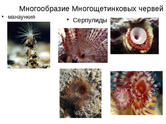 Многообразие Многощетинковых червей манаункия