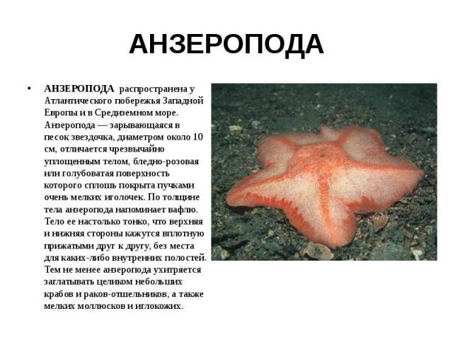 АНЗЕРОПОДА АНЗЕРОПОДА распространена у Атлантического побережья Западной Европы и в Средиземном море. Анзеропода — зарывающаяся в песок звездочка, диаметром около 10 см, отличается чрезвычайно уплощенным телом, бледно-розовая или голубоватая поверхн…