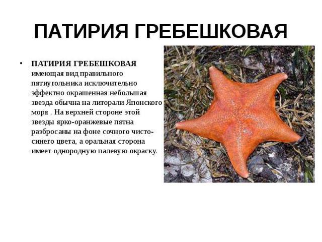 ПАТИРИЯ ГРЕБЕШКОВАЯ ПАТИРИЯ ГРЕБЕШКОВАЯ имеющая вид правильного пятиугольника исключительно эффектно окрашенная небольшая звезда обычна на литорали Японского моря . На верхней стороне этой звезды ярко-оранжевые пятна разбросаны на фоне сочного чисто…