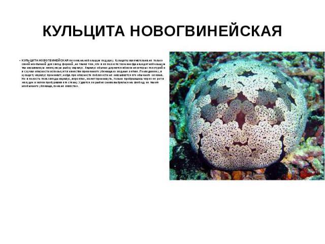 КУЛЬЦИТА НОВОГВИНЕЙСКАЯ КУЛЬЦИТА НОВОГВИНЕЙСКАЯ похожа на небольшую подушку. Кульцита замечательна не только своей необычной для звезд формой, но также тем, что в ее полости тела иногда находят небольшую так называемую жемчужную рыбку карапус. Карап…