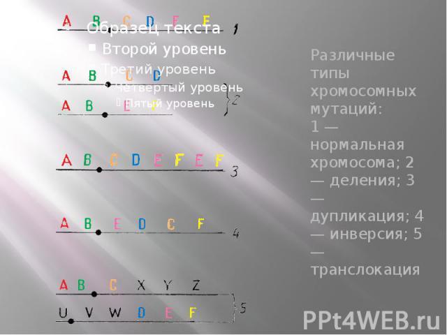 Различные типы хромосомных мутаций: 1 — нормальная хромосома; 2 — деления; 3 — дупликация; 4 — инверсия; 5 — транслокация Различные типы хромосомных мутаций: 1 — нормальная хромосома; 2 — деления; 3 — дупликация; 4 — инверсия; 5 — транслокация