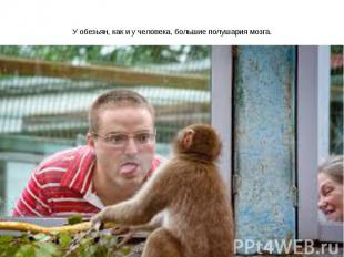 У обезьян, как и у человека, большие полушария мозга.