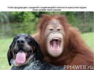 Чтобы предупредить сородичей о надвигающейся опасности орангутанги издают очень