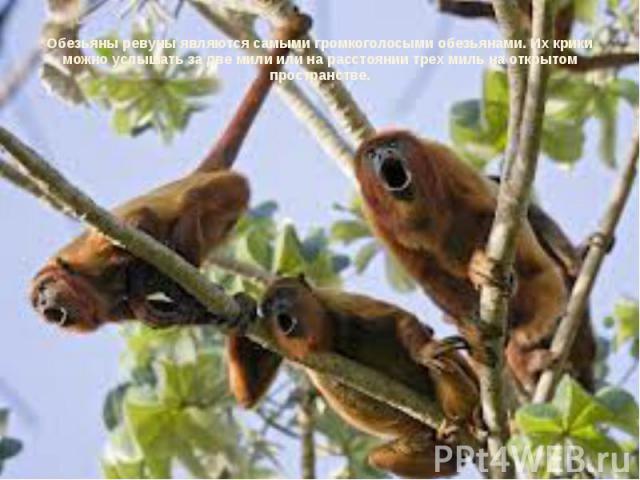 Обезьяны ревуны являются самыми громкоголосыми обезьянами. Их крики можно услышать за две мили или на расстоянии трех миль на открытом пространстве.