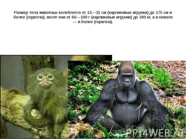 Размер тела животных колеблется от 13—15 см (карликовые игрунки) до 175 см и более (горилла); весят они от 60—100 г (карликовые игрунки) до 180 кг, а в неволе — и более (горилла).