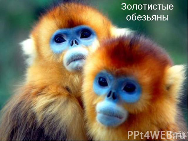 Золотистые обезьяны
