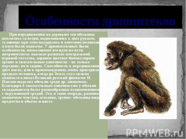 Особенности дриопитеков При передвижении по деревьям эти обезьяны цеплялись за ветви, подвешиваясь к ним руками, туловище при этом находилось в отвесном положении, а ноги были поджаты. У дриопитековых были особенности, позволявшие им идти по пути ан…
