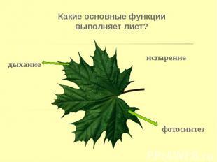 Какие основные функции выполняет лист? Какие основные функции выполняет лист?