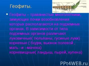 Геофиты. Геофиты – травянистые многолетники, зимующие почки возобновления которы