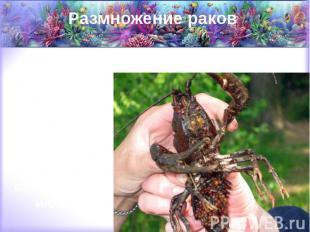 Размножение раков Рачиха откладывает икру себе под брюшко с наступлением осени,