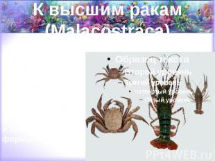 К высшим ракам (Malacostraca) относятся крабы, омары, лангусты, речные раки, кре