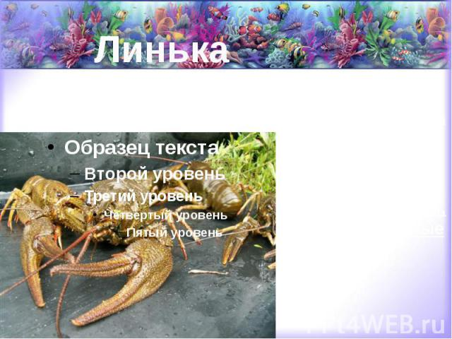 Линька в этот период они не только меняют на новый свой хитиновый покров, но вместе с ним обновляют и жабры, и пищеварительные органы.