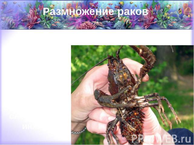 Размножение раков Рачиха откладывает икру себе под брюшко с наступлением осени, где и носит ее до наступления следующего июня.