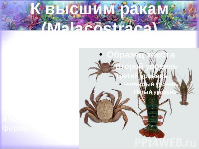 К высшим ракам (Malacostraca) относятся крабы, омары, лангусты, речные раки, креветки, раки-богомолы, раки-древоточцы, мокрицы, водяные ослики, бокоплавы и многие другие формы.