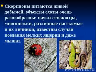 Скорпионы питаются живой добычей, объекты охоты очень разнообразны: пауки-сеноко