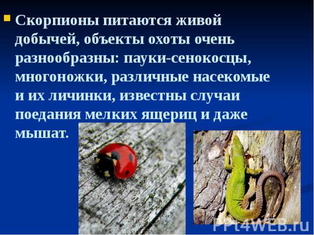 Скорпионы питаются живой добычей, объекты охоты очень разнообразны: пауки-сенокосцы, многоножки, различные насекомые и их личинки, известны случаи поедания мелких ящериц и даже мышат. Скорпионы питаются живой добычей, объекты охоты очень разнообразн…