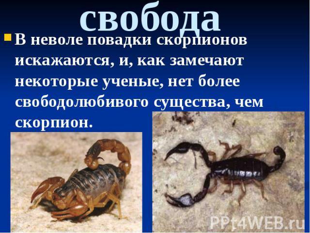 свобода В неволе повадки скорпионов искажаются, и, как замечают некоторые ученые, нет более свободолюбивого существа, чем скорпион.