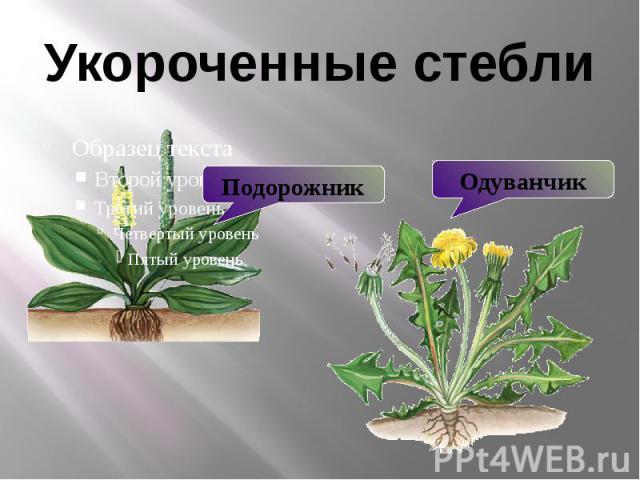 Укороченные стебли