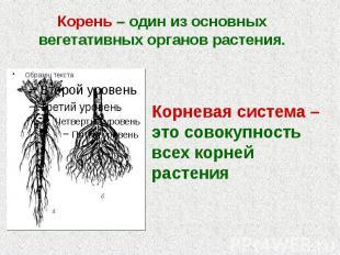 Корень – один из основных вегетативных органов растения. Корень – один из основн