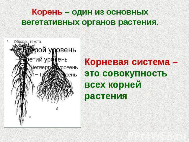 Корень – один из основных вегетативных органов растения. Корень – один из основных вегетативных органов растения.